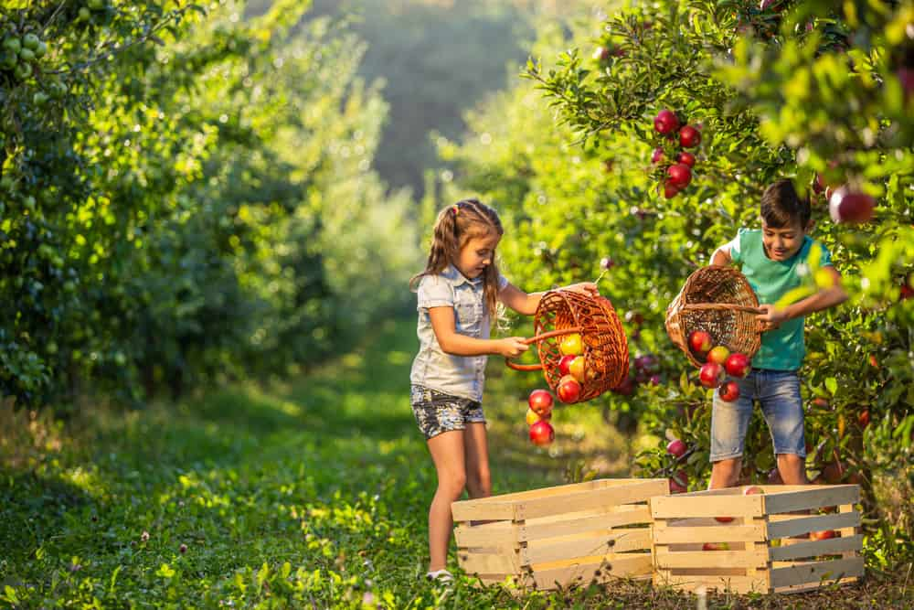 A couple of kids harvesting apples in an orchard.