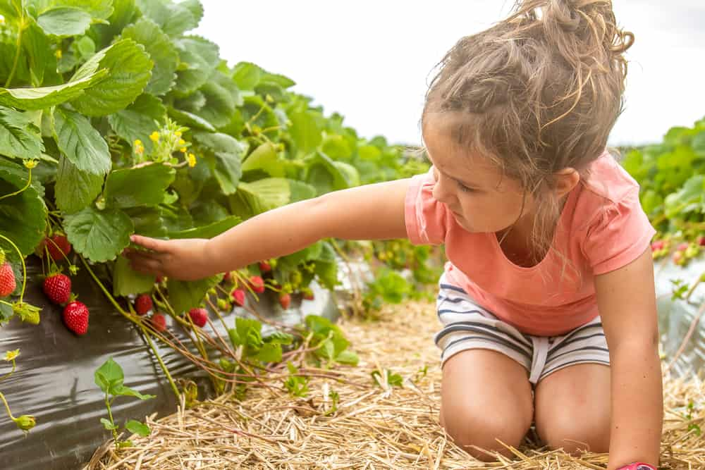 A girl picking strawberries.