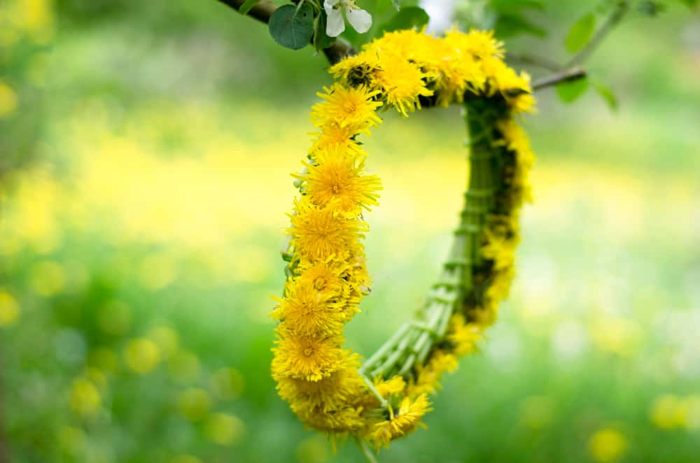 A yellow dandelion chain hangs in spring tree.