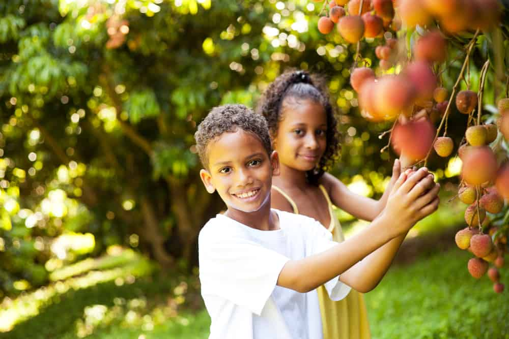 Kids picking lychees in the orchard.