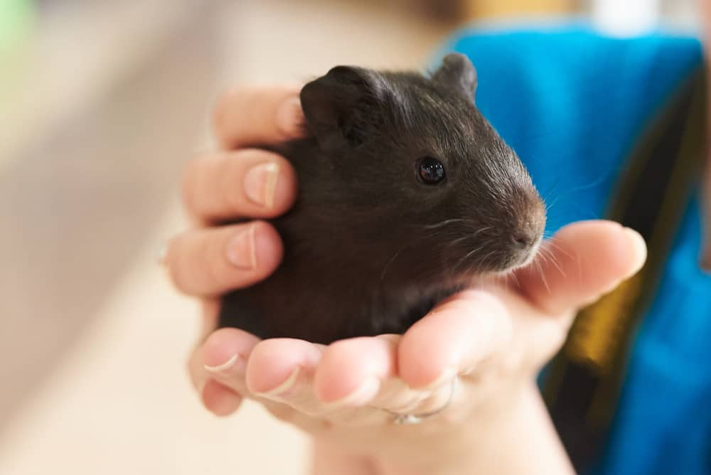 This is a dark guinea pig held by a pair of hands.