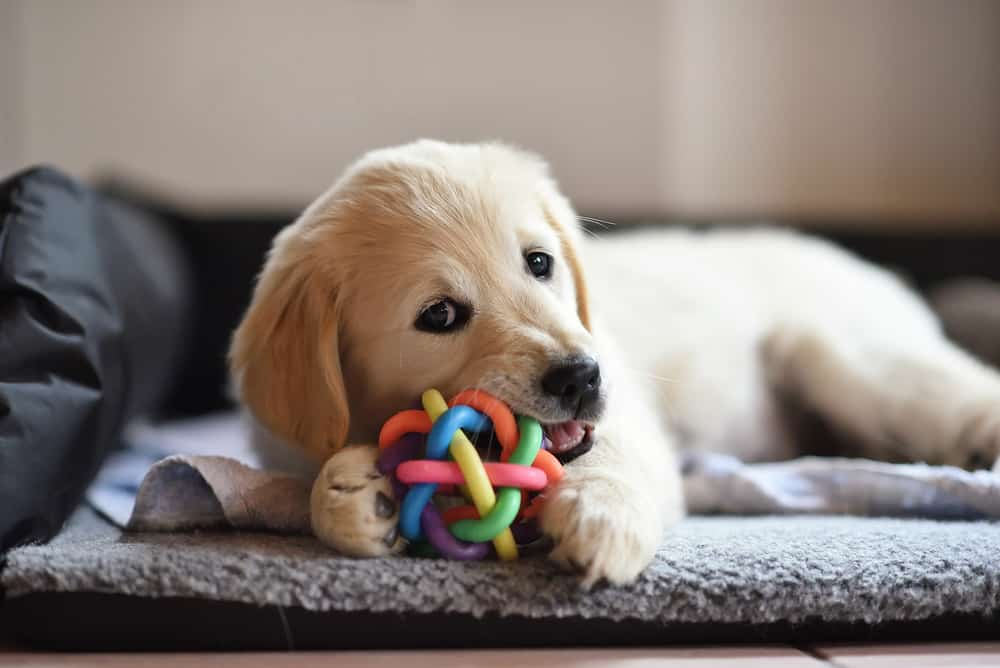A golden retriever puppy playing with a colorful chew toy.